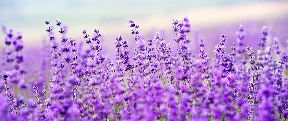 Lavender Fields Lampe Berge Fragrance