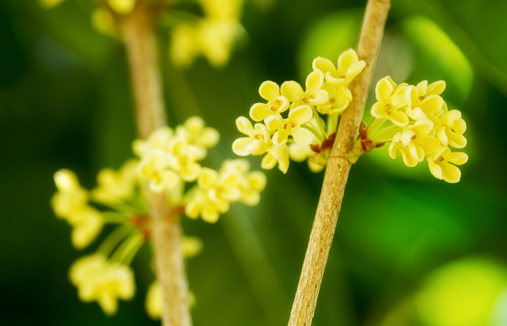 Delicate Osmanthus Lampe Berge Fragrance