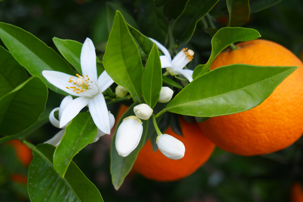 Orange Blossom Lampe Berge Fragrance