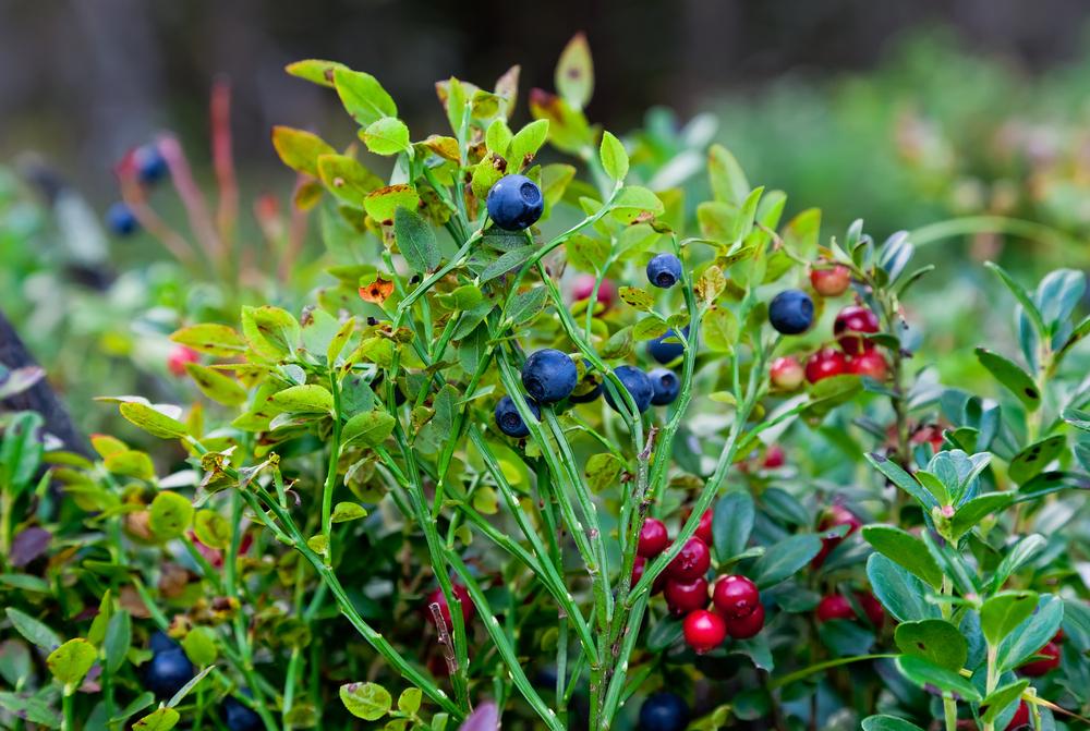 Wild Berries Lampe Berge Fragrance